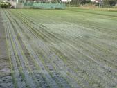 台農秈稻22號:DSC02138.JPG