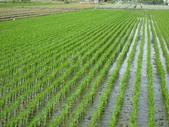 台農秈稻22號:IMG_0021_1