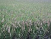 台農秈稻22號:IMG_0033.JPG