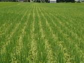 台農秈稻22號:DSC03514.JPG