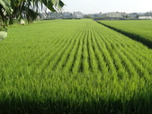 台農秈稻22號:9.25-1.JPG