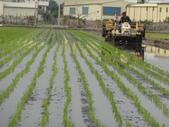 台農秈稻22號:DSC03213.JPG