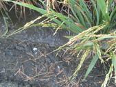 台農秈稻22號:DSC03735.JPG
