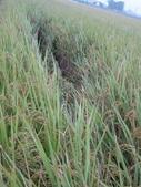 台農秈稻22號:IMG_0030.JPG