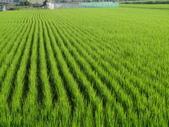 台農秈稻22號:9.25-2.JPG