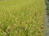 103年1期水稻日記:完熟期0.JPG