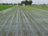 台農秈稻22號:DSC03630.JPG