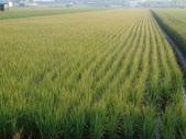 台農秈稻22號:DSC03690.JPG