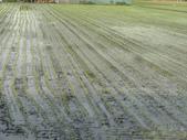 台農秈稻22號:DSC02140.JPG