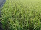 台農秈稻22號:DSC03728.JPG