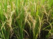台農秈稻22號:DSC03741.JPG