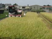 103年1期水稻日記:收割中.JPG