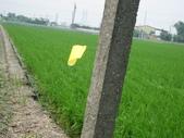台農秈稻22號:IMG_0022