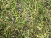 101年2期水稻:杏菜葉被啃光了1.JPG