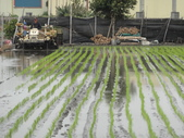 台農秈稻22號:DSC03207.JPG