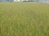 台農秈稻22號:DSC04191.JPG