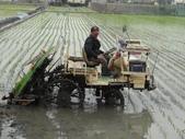 台農秈稻22號:DSC03210.JPG
