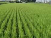 台農秈稻22號:9.25-3.JPG