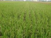 台農秈稻22號:台農秈22號播種第87天生長出穗情形...JPG