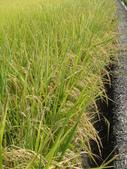 103年1期水稻日記:完熟期1.JPG