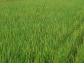 台農秈稻22號:台農秈22號播種第87天生長出穗情形.JPG