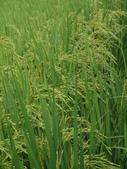台農秈稻22號:DSC03507.JPG