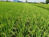台農秈稻22號:DSC03504.JPG