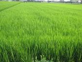 台農84號:台農84號水稻撥種第68天.JPG