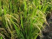 台農秈稻22號:DSC03740.JPG