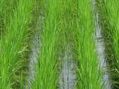 101年1期水稻:IMG_0023.JPG