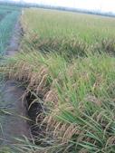 台農秈稻22號:IMG_0036.JPG