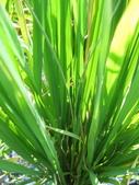 台農秈稻22號:IMG_0023.jpg