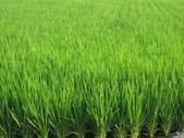 台農84號:台農84號水稻撥種第68天1.JPG