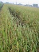 台農秈稻22號:IMG_0032.JPG