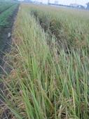 台農秈稻22號:IMG_0031.JPG