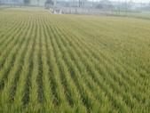台農秈稻22號:DSC03688.JPG