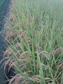 台農秈稻22號:IMG_0029.JPG