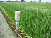 台農秈稻22號:IMG_0045.JPG