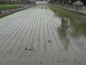 台農秈稻22號:104.3.1台南11號水稻插秧完成.JPG