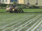 101年2期水稻:插秧中5.JPG