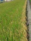 台農秈稻22號:IMG_0024