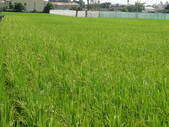 台農秈稻22號:DSC03503.JPG