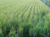 台農秈稻22號:DSC03694.JPG