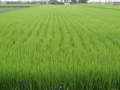 103年1期水稻日記:DSC01914.JPG