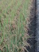 台農秈稻22號:DSC03734.JPG