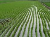 103年1期水稻日記:DSC01831.JPG