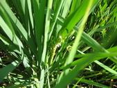 台農秈稻22號:IMG_0057.JPG