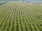 台農秈稻22號:DSC03689.JPG