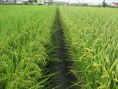 台農84號:右側的台農11號水稻明顯矮一節.JPG