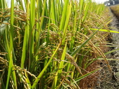 台農秈稻22號:播種第102天穗黃熟情形....JPG